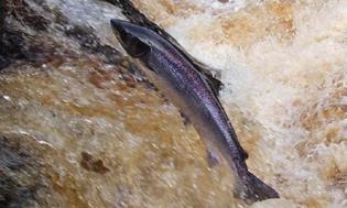 Leaping Salmon 2
